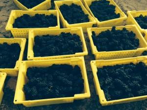 Pinot Harvest 2014